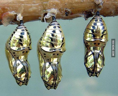 トラフトンボマダラの蛹