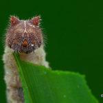 ヒメジャノメの幼虫