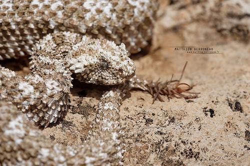 スパイダーテイルドクサリヘビ
