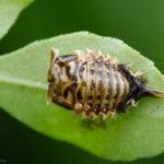 カメノコハムシの幼虫