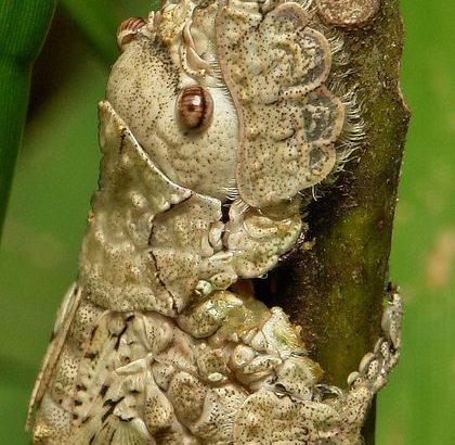 キリギリスの一種の若虫