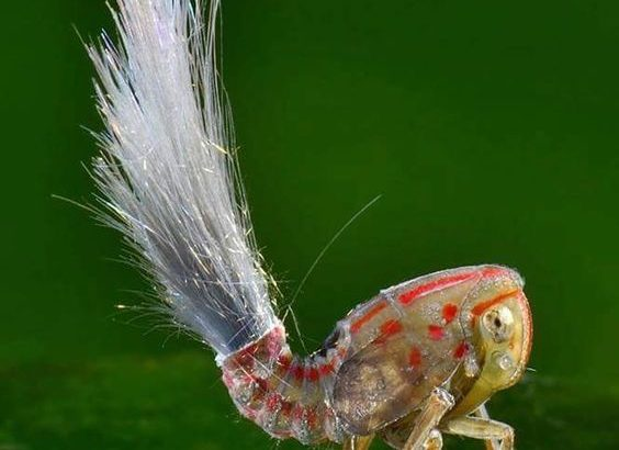 ハゴロモ型類の幼虫達