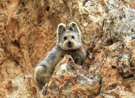 イリナキウサギ